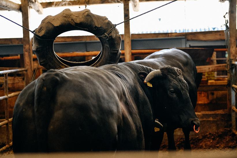 タイヤで背中をこする宮崎牛