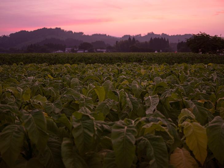 夕焼けのたばこ畑