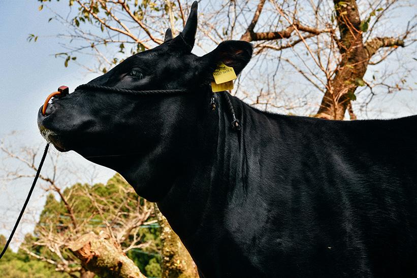 牛の毛並み